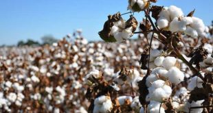cottonseed production in Iran