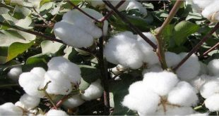 Cotton prices in Brazilian market