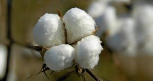 cotton from Turkmenistan