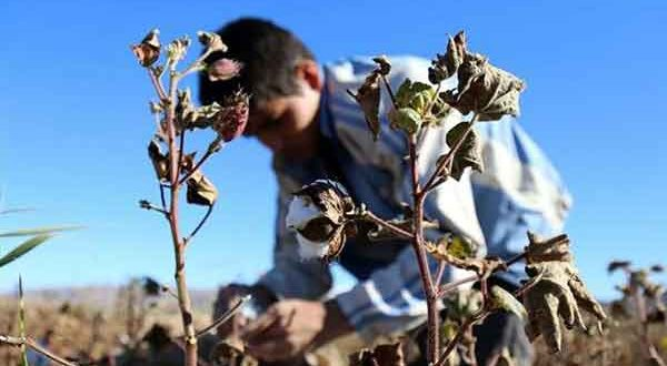 Iran to produce 60k tons of cotton