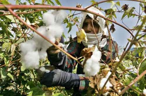 An Egyptian farmer harvests cotton at a farm near the Nile delta city of Mansura, 130km north of Cairo (AFP)