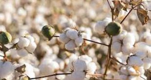 India's cotton imports continue to be high: Ind-Ra