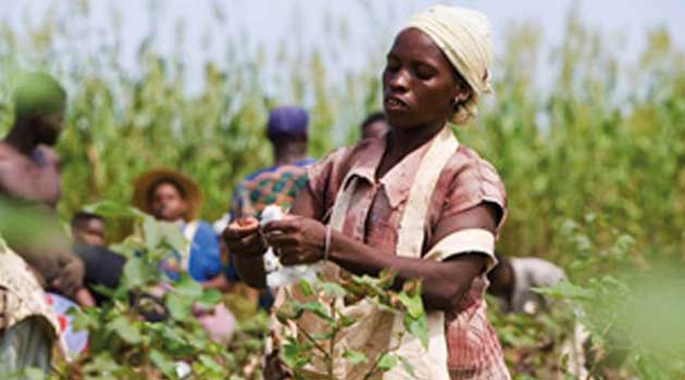 Kenyan cabinet approves commercial farming of Bt cotton