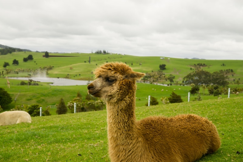 Alpaca Farm in Peru