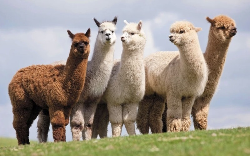 Alpaca herd in mountains