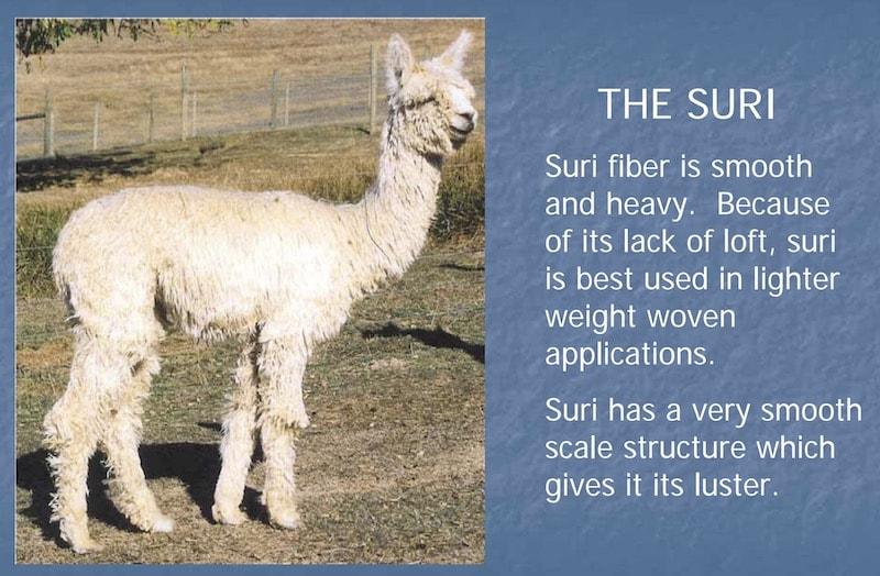 The Suri Alpaca fiber