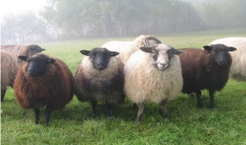 Sheep (Ovis aries) are ruminant mammals, typically kept as livestock.