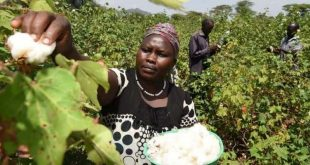 Kenya: To Grow Kenya's Textile Industry, We Must Revive Cotton Farming