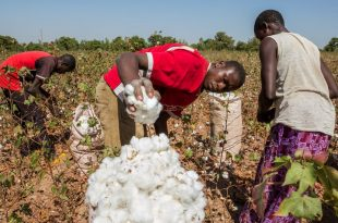 cotton-production-Nigeria